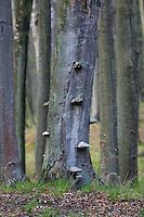 Carpathian beech forest, the Carpathians; Carpathian Mountains; Bieszczady Mountains; Poland.