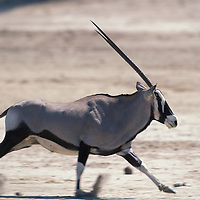 Africa, Namibia, Etosha National Park, Gemsbok (Oryx gazella) runs along dry salt pan