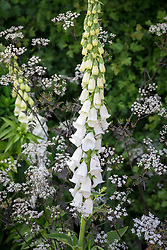Digitalis purpurea f. albiflora syn. D.p.'Alba' growing through Anthriscus sylvestris 'Ravenswing'<br /> (Black cow parsley) in a shady area by a hedge. White foxglove.