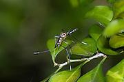 Elephant Mosquito.Toxorhynchites rutilus.Santa Ana N.W.R.,.Hidalgo Co., Texas.19 September 2008