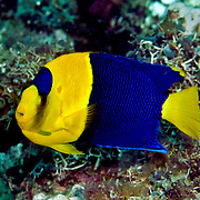 Bicolor Angelfish inhabit reefs and rubble areas. Picture taken Lembeh Straits, Sulawasi, Indonesia.