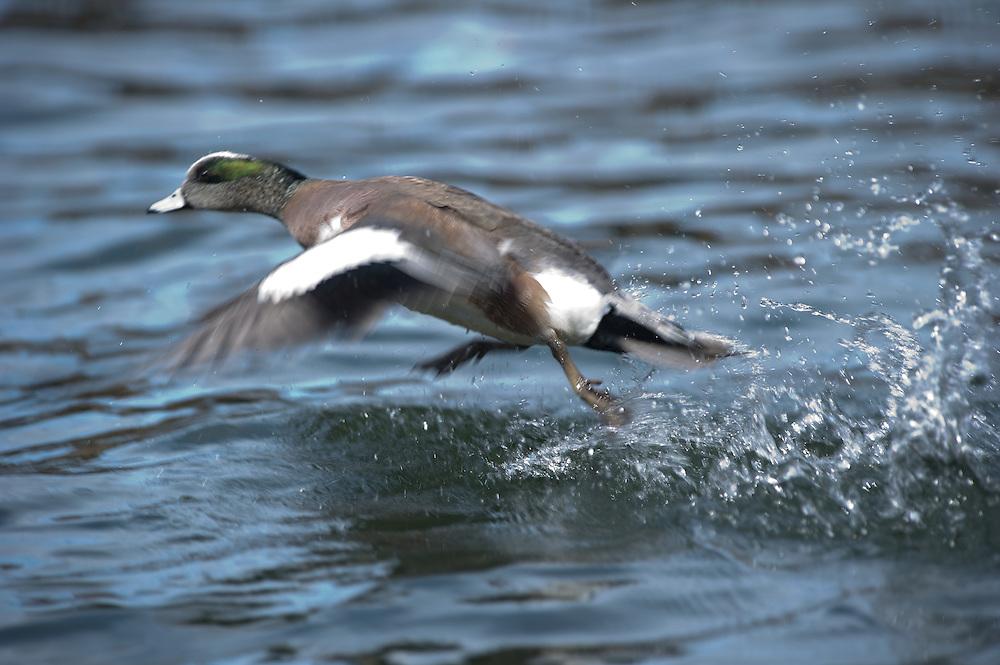 A drake widgeon takes flight.