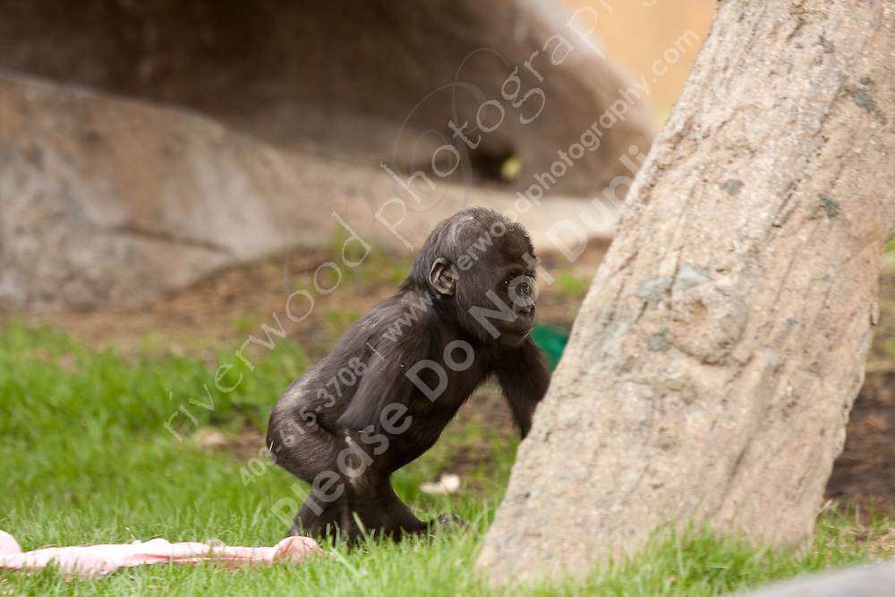 Baby Gorilla at the Calgary Zoo..©2009, Sean Phillips.http://www.Sean-Phillips.com
