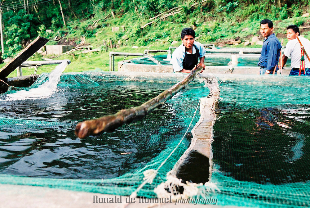 An experimental fish farm high in the Andean mountains of Cauca Province attempts to create supplemental income for the Nasa indigenous community of Toribio..Toribio is a small town, capital of the mountainous region with the same name, in central Cauca Province. The area is an indigenous reserve for the Nasa indians and is governed by traditional tribal law. The indians are stuck in the middle between the permanent presence of several FARC camps and contingents of the governement army.  2003 Cauca province, southern Colombia