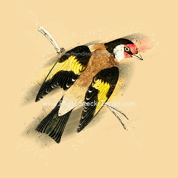 Digitally enhanced image of a European goldfinch. 19th century Artwork of a European goldfinch (Carduelis carduelis) on a branch. This bird feeds mainly on thistle seeds. Females produce four to six eggs, which hatch after 11- 14 days of incubation.