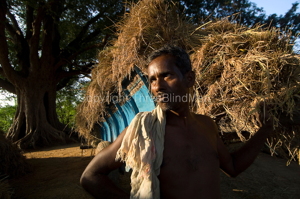 Farmer next to a bullock cart of harvested rice. Rice Harvest season. Tamil Nadu.