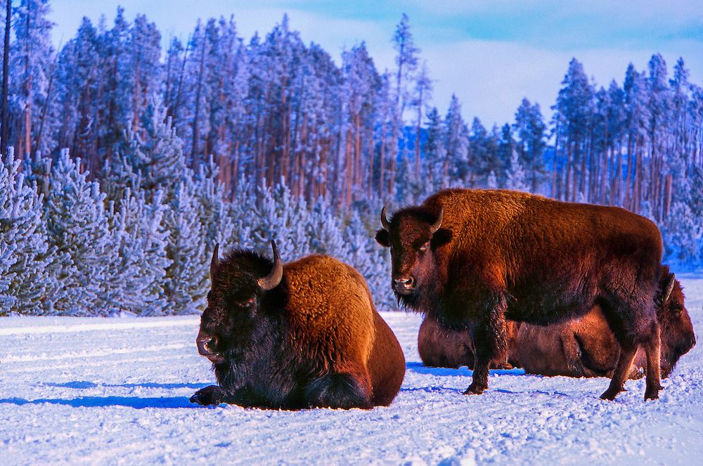 Bison in snow (Bison bison), Yellowstone National Park, Wyoming