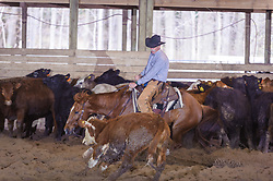 April 30 2017 - Minshall Farm Cutting 2, held at Minshall Farms, Hillsburgh Ontario. The event was put on by the Ontario Cutting Horse Association. Riding in the 25,000 Novice Horse Non-Pro Class is Steve Neville on Peppy Bag O Lena owned by the rider.