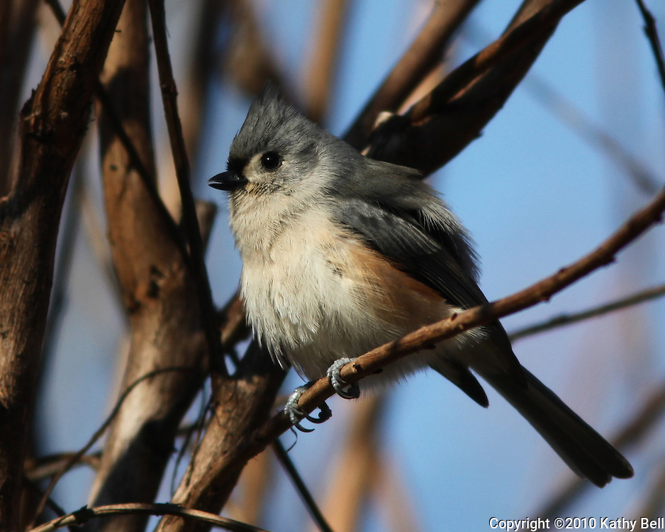 Image of a tufted titmouse