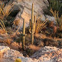 Saguaro National Park, Tucson. Saguaro cactus in the warm light of the setting sun.