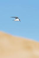 Damara Tern hunting near the Alexandris Dunefields, Sundays River Estuary, Algoa Bay, Eastern Cape, South Africa