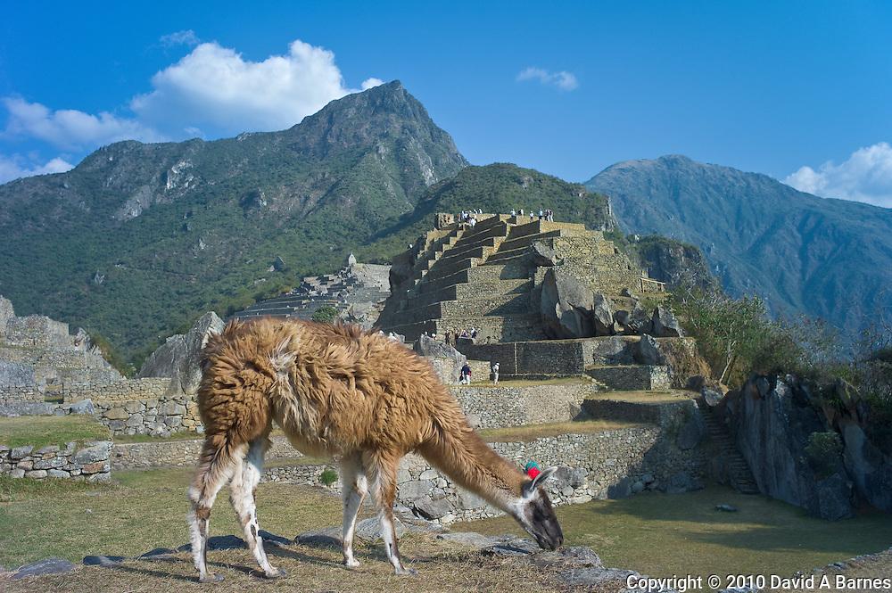 Llama grazing at Machupicchu, Peru