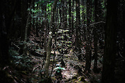 As summer approaches the thickening foliage blocks out the sunlight in Aokigahara Jukai, or Aokigahara Sea of Trees, better known as the Mt. Fuji suicide forest, which is located at the base of Japan's famed mountain west of Tokyo, Japan.