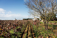 GUAGNANO, ITALY - 10 NOVEMBER 2016: A vineyard of the wine house Feudi di San Guagnano, where the Negramaro wine is produced, is seen here in San Gaetano Thiene, a district of Guagnano near Lecce, Italy, on November 10th 2016.<br /> <br /> Here a group of ten high-security female inmates and aspiring sommeliers , some of which are married to mafia mobsters or have been convicted for criminal association (crimes carrying up to to decades of jail time), are taking a course of eight lessons to learn how to taste, choose and serve local wines.<br /> <br /> The classes are part of a wide-ranging educational program to teach inmates new professional skills, as well as help them develop a bond with the region they live in.<br /> <br /> Since the 1970s, Italian norms have been providing for reeducation and a personalized approach to detention. However, the lack of funds to rehabilitate inmates, alongside the chronic overcrowding of Italian prisons, have created a reality of thousands of incarcerated men and women with little to do all day long. Especially those with a serious criminal record, experts said, need dedicated therapy and professionals who can help them.