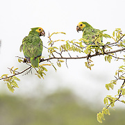 A pair of yellow-shouldered amazon parrots (Amazona barbadensis) sit together near Dos Pos. Many parrots now roost at Dos Pos, a location in the North of the island where Echo Bonaire, a conservation organization focused on the parrots happens to be based. This species is monogamous and mostly chooses mates for life.