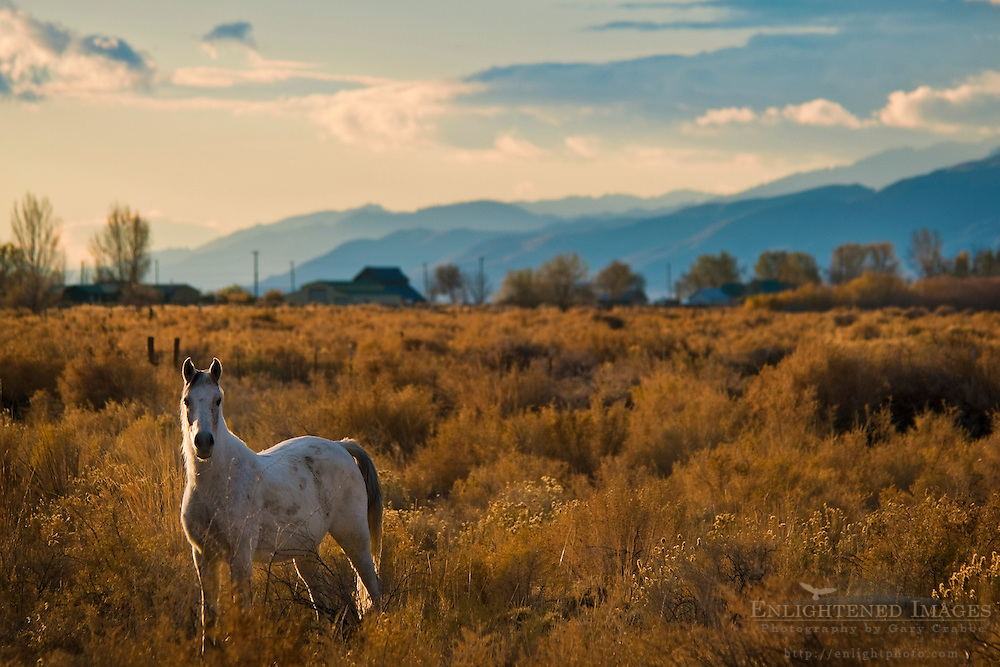 Whitre horse in field of sagebrush near Susanville, Lassen County, California