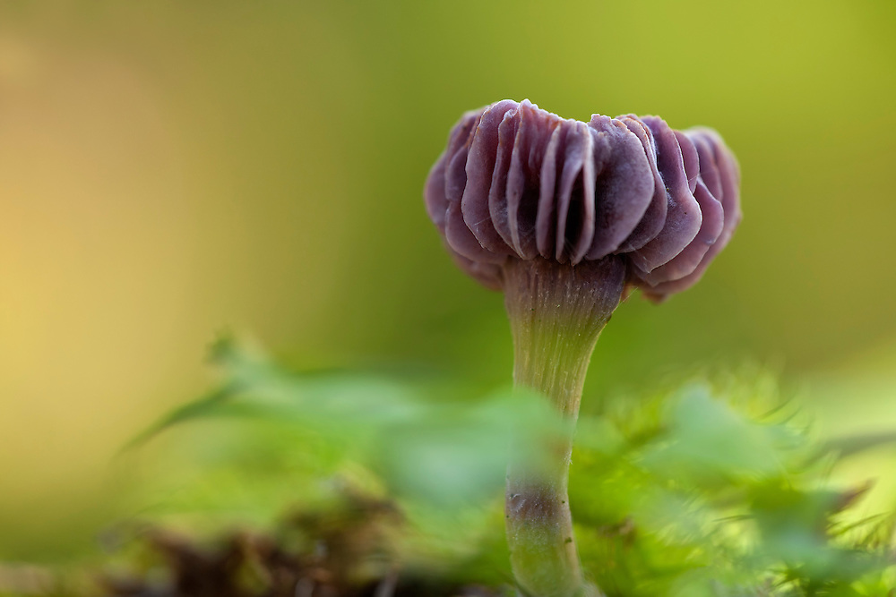 Amethyst Deceiver against soft light background. With some out of focus leafs.