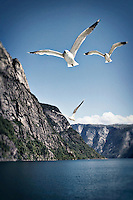 Seagulls in flight near the mountains and sea of the Sognefjord, Norway.