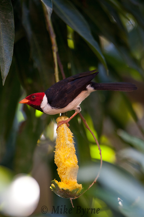 Yellow-billed Cardinal (Paroaria capitata) feeds on a mango at Araras Eco Lodge (Mato Grosso, Brazil)