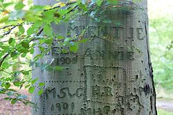 beschreven bomen, vanaf ca 1895. Carved trees from 1895 's-Graveland, Wijdemeren