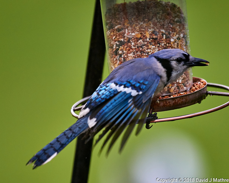 Blue Jay Talkoff. Image taken with a Nikon D5 camera and 600 mm f/4 VR lens