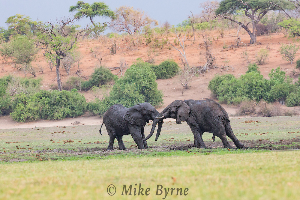 Elephant in Chobe National Park, Botswana.
