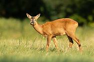 Western Roe Deer (Capreolus capreolus) female in grass meadow, chewing, South Norfolk, UK. July