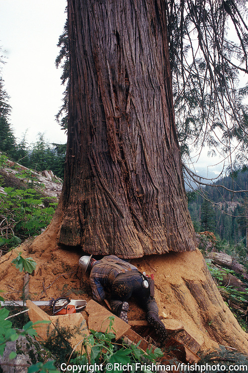 Photograph of logger Don Hudspeth on his knees, looking into the massive undercut he has made into an old-growth cedar before falling the giant tree near Oso, Washinton USA.©Rich Frishman