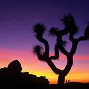 Sunset silhouettes a joshua tree in Joshua Tree National Park, CA.