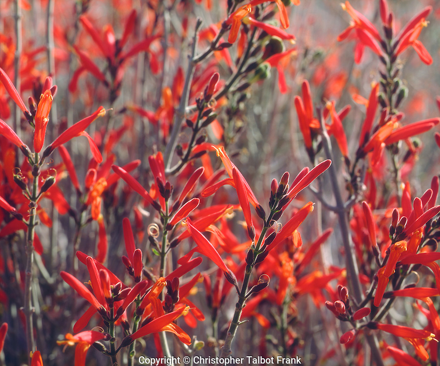 I used my close up photography equipment to get a photo of these vibrant red Chuparosa wildflowers in Anza Borrego Desert State Park.  Used backlight to make the crimson flowers glow and stand out from the soft background.