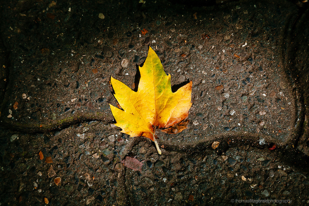 Autumn in Ireland, 2013: A series of freshly fallen Autumn Leaves