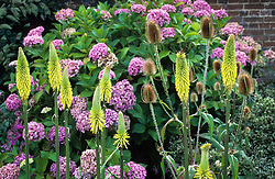 Kniphofia 'Torchbearer' growing with teasel seedheads in front of Hydrangea macrophylla 'Ayesha' in the barn garden at Great Dixter