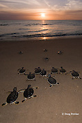 Australian flatback sea turtle hatchlings, Natator depressus, ( endemic to Australia & southern New Guninea ) crawl down nesting beach to ocean, Crab Island, off Cape York Peninsula, Torres Strait, Queensland, Australia (de)