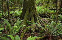 A moss covered Western Red Cedar tree trunk in a forest surrounded by ferns. Little Si Trail, Washington Cascades, USA.