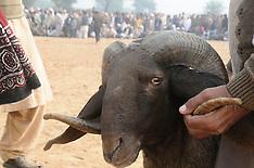 Pakistan - Celebrate Annual Sheep Fight Festival - 12 Dec 2016