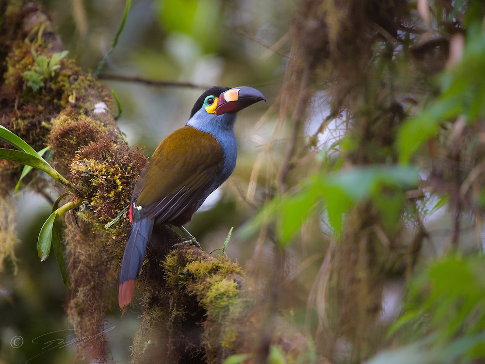 Plate-billed Mountain Tuocan in the cloudforest in the Tandayapa valley, Ecuador.