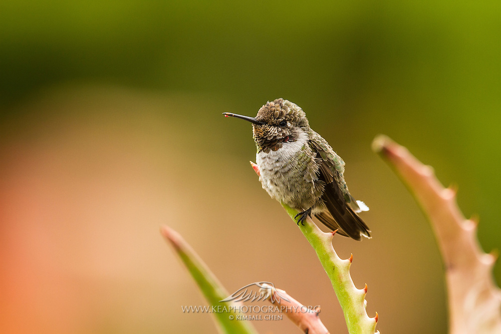 Anna's Hummingbird perched on an aloe bainesii plant, Southern California