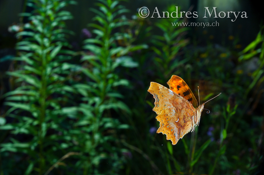 Comma butterfly in flight (Polygonia c-album). Insect in Flight, High Speed Photographic Technique Image by Andres Morya