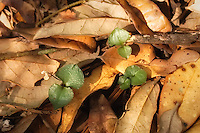 The leaves of Craighead's noddingcaps are very distinct, and easily identified - green on top, and purple underneath.