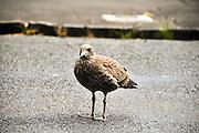 New Zealand, North Island, Rotorua, Weka or woodhen (Gallirallus australis)