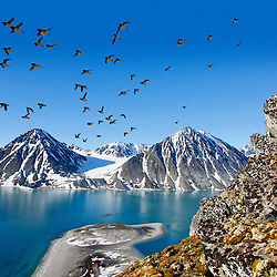 Huge colonies of Little Auk are found in the fjords of Svalbard. They are nesting in little cavities in the steep rocky cliffs. West coast of Svalbard, European Arctic