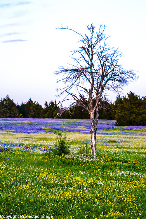 Field of bluebonnets near Ennis, TX