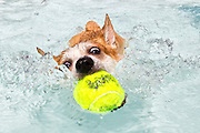 A dog swims after it's ball in the swimming pool at Doggie Day Swim in Washington, DC, 2014.
