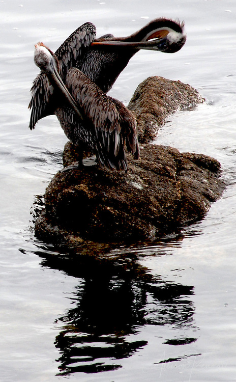 A pair of pelicans groom while perched on a rock in Monterey harbor