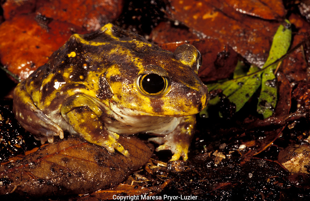 Eastern Spadefoot, Scaphiopus h. holbrookii, controlled, Florida