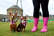 Horringer, Suffolk. Great British Dog Walk at Ickworth with over 350 adults, plus dogs of all shapes and sizes taking part in this year&rsquo;s event at Ickworth Park with a family walk of 3km and a scenic route of 8km to choose from. Pictured are Miniature Pinchers Hershey and Twinkie.<br /> <br /> Picture: MARK BULLIMORE