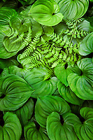 WA14563-00...WASHINGTON - False lily of the valley and a fern in Olympic National Park.