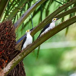 """""""Pica-pau-branco (Melanerpes candidus) fotografado em Linhares, Espírito Santo -  Sudeste do Brasil. Bioma Mata Atlântica. Registro feito em 2014.<br /> <br /> <br /> <br /> ENGLISH: White Woodpecker photographed in Linhares, Espírito Santo - Southeast of Brazil. Atlantic Forest Biome. Picture made in 2014."""""""