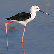 Black-winged Stilt, Himantopus himantopus, feeding on a mangrove pond