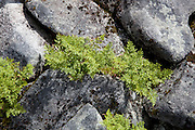 The parsley fern (Cryptogramma crispa), is a species of Arctic-alpine fern. Ramskaret in Tydal. Norwegian: hestespreng.